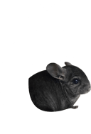 Breeding, purchase and sale, consulting Chinchillas